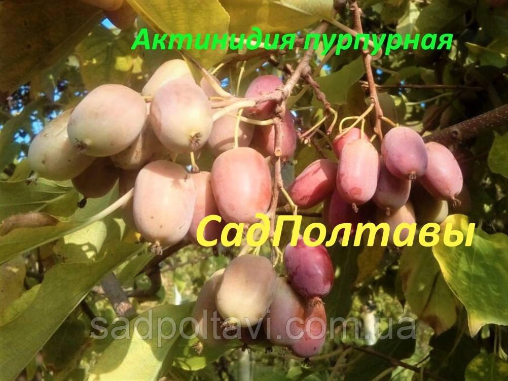Саженцы актинидии аргута Пурпурная в конт.(женская) 2хлетняя в горшке 2л