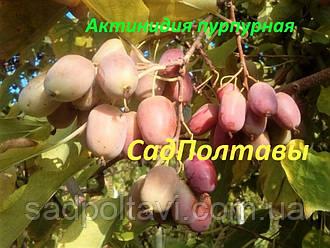 Саженцы актинидии аргута Пурпурная в конт.(женская) 2хлетняя в горшке 2л, фото 2