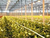 Доращивание и выгонка овощей в осенний период
