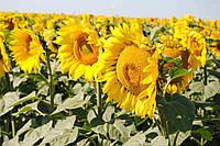Семена подсолнечника Солтан под Гранстар