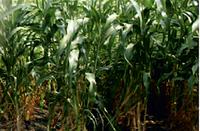 Семена сорго-суданкового Косо, 115-120 суток