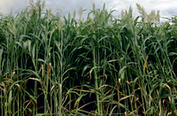 Семена сорго-суданкового Юте БМР, 115-120 суток