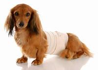 Массаж молочных желез (расцеживание): собака от 10 до 15 кг