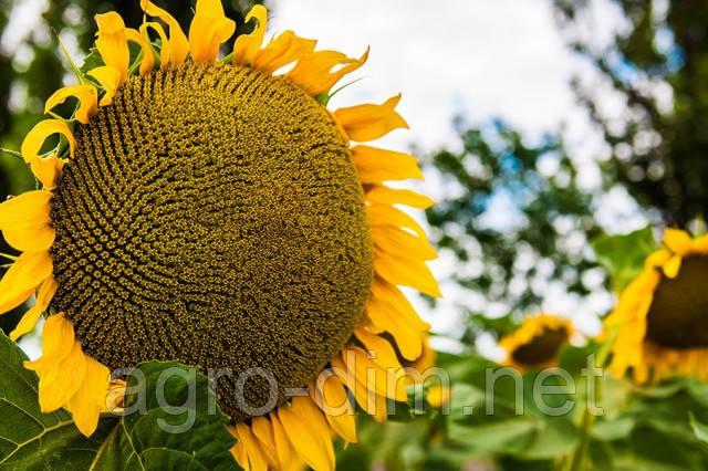 Семена подсолнечника Денвер Clearfield®, фото 2
