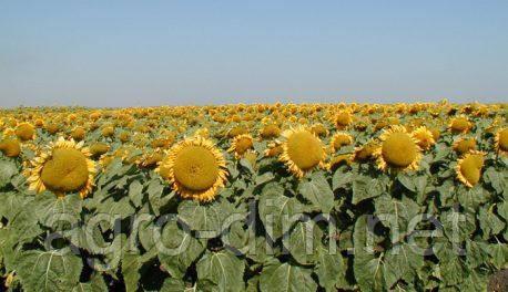 Семена подсолнечника Батавия Clearfield®