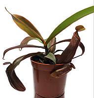 Непентес Сангвинея Растение хищник AlienPlants Nepenthes Sanguinea (SUN007CP), фото 1