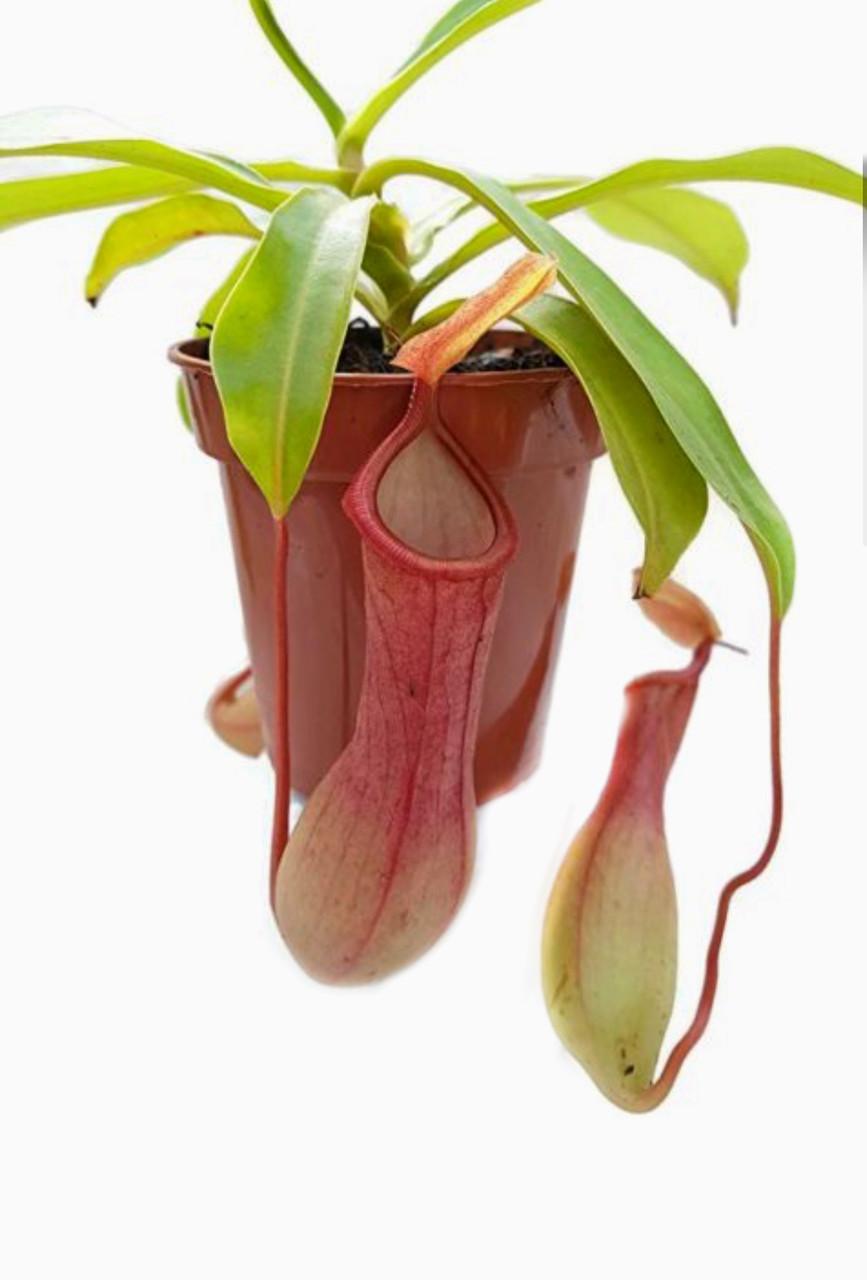 """Растение хищник Непентес Алата AlienPlants Nepenthes """"Alata"""" (SUN005CP)"""