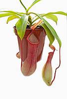 """Растение хищник Непентес Алата AlienPlants Nepenthes """"Alata"""" (SUN005CP), фото 1"""