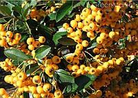 "Пироканта Soleil d""Or - ""Солнышко золотое"" - семена"