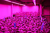 Светодиодная фитолента линзованная SL-010FLens 2835/120LED 220V IP65 (1m) Код.59400, фото 4