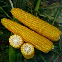 Семена кукурузы Добрыня F1 2500 шт Lark Seeds Ларк сидс