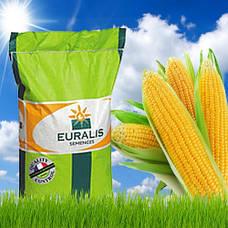 Кукуруза евралис семенс (euralis semences)