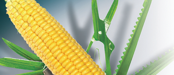 Семена кукурузы НК Люциус
