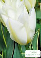 Тюльпан 'Purissima Design' (размер 11/12 , крупный) 3шт в упаковке