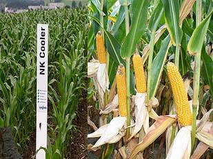 Семена кукурузы НК Кулер