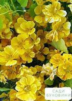 Настурция 'Золотой блик' (в банке) ТМ 'Весна Органик' 6г