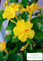Мирабилис желтый (в банке) ТМ 'Весна Органик' 10г