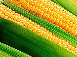 Семена кукурузы СИ Иридиум