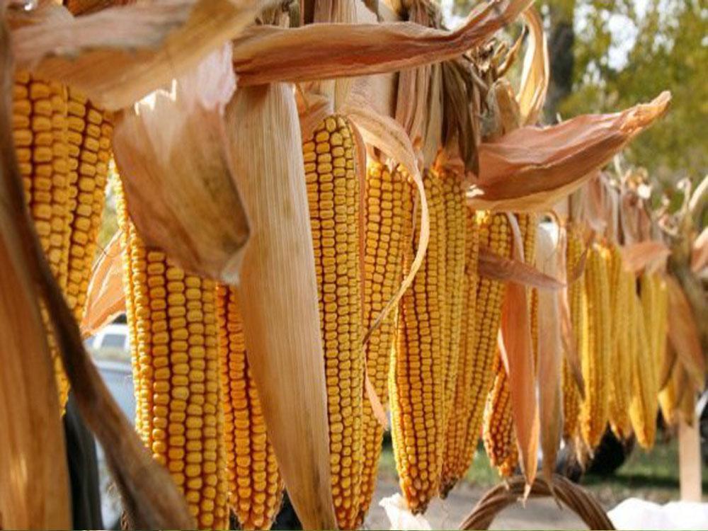 Семена кукурузы СИ Ротанго