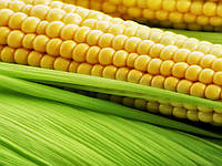 Семена кукурузы СИ Ондина