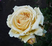 Роза  Белла ди Тоди (Bella di Todi) Ч/Г, фото 2