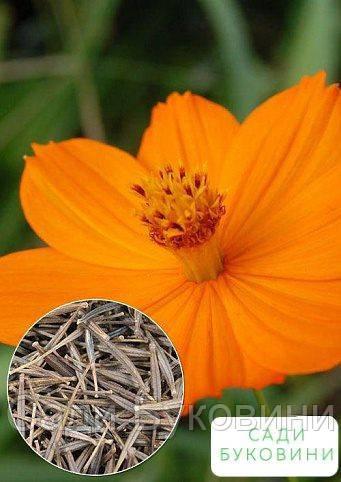 На развес Космея 'Солнечная оранжевая' ТМ 'Весна' цена за 3г
