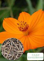 На развес Космея 'Солнечная оранжевая' ТМ 'Весна' цена за 3г, фото 1