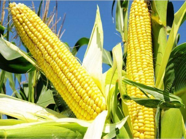 Семена кукурузы НК Нериса