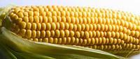 Семена кукурузы НК Джигато