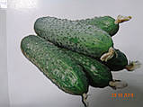 SV 4097 CV F1 семена огурца SEMINIS Голландия 250 шт, фото 3