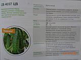 SV 4097 CV F1 семена огурца SEMINIS Голландия 250 шт, фото 4