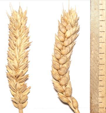 Семена пшеницы  Приветливая