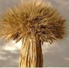 Семена пшеницы  Душистая
