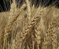 Семена пшеницы   Альянс