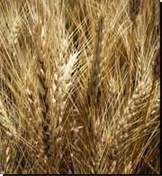 Семена пшеницы   Надменная