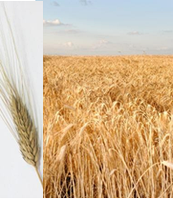 Семена пшеницы   Шулиндинка