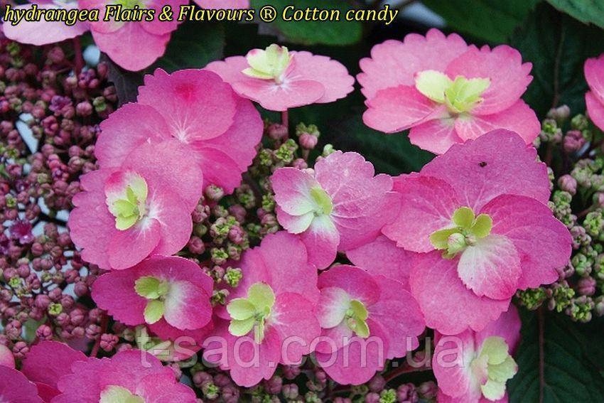 Гортензия крупнолистная Cotton Сandy (Хлопковая конфета)  новинка 3год
