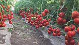 Агилис F1 500 шт. семена томата высокорослого Enza Zaden Голландия, фото 2