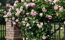 Роза Пьер де Ронсар (Эден Роуз) / (Pierre De Ronsard (Eden Rose), фото 2
