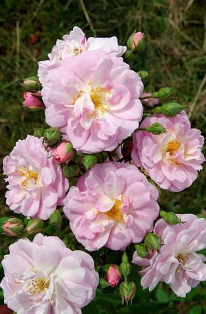 Роза Бриз Парфюм (Brise Parfum) Плетистая, фото 2
