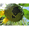 Семена подсолнуха НС-Х-496 (Нертус)