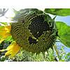 Семена подсолнуха НС-Х-6044 (Нертус)