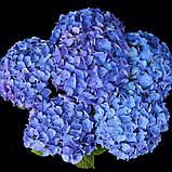 Гортензия крупнолистная Jip Blue (Джип Блу) 2год, фото 2