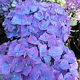 Гортензия крупнолистная Jip Blue (Джип Блу) 2год, фото 3