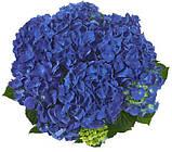 Гортензия крупнолистная Jip Blue (Джип Блу) 2год, фото 4