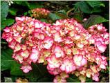 Гортензия крупнолистная Grafin Cosel (Графиня Косель) 2год, фото 3