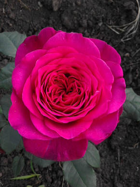 Роза Иоганн Вольфганг фон Гете (Johann Wolfgang von Goethe Rose) Ч/Г, фото 2