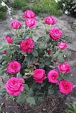 Роза Иоганн Вольфганг фон Гете (Johann Wolfgang von Goethe Rose) Ч/Г, фото 3