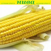 Астролайт F1 насіння кукурудзи солодкої Agri Saaten 5 000 насінин