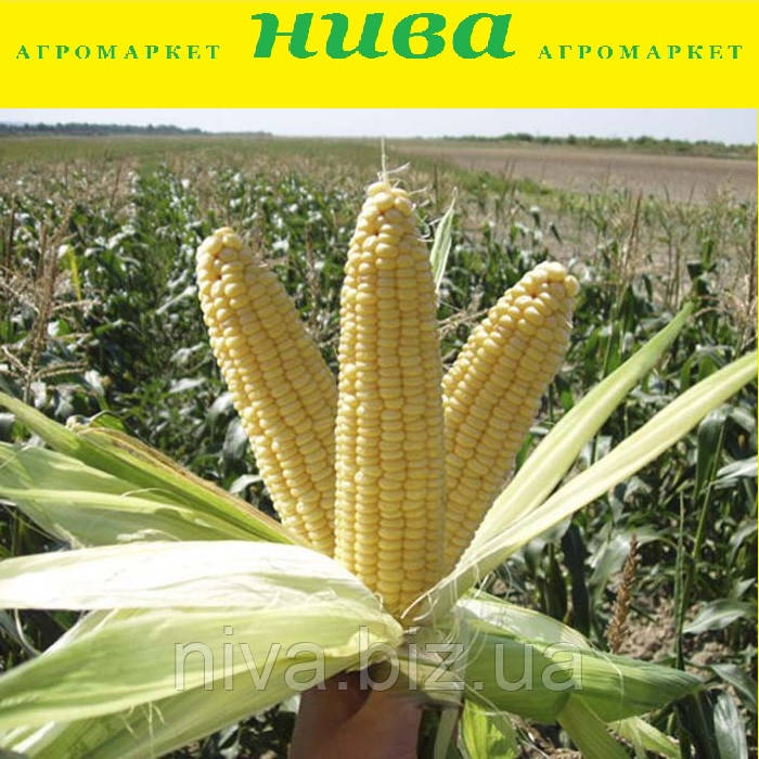 Лендмарк F1 насіння кукурудзи солодкої Clause 10 000 г